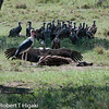 Marabou Stork, Leptoptilos crumeniferus front left; Rüppell's Vulture (Gyps rueppellii) with wings spread out