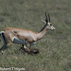 Grant's Gazelle- (Nanger granti)<br /> newborn