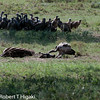 Hooded Vulture, Necrosyrtes monachus(?)<br /> One brave vulture finally made a move toward the carcass. He immediately went for the eye. That move was a signal for the rest to come.