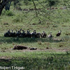We came across a dead Zebra. A group of vultures just stood there- waiting???