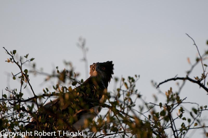 Brown Snake-eagle (Circaetus cinereus)