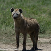 Hyenas- family of the Hyaenidae