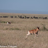 I am not 100% certain: juvenile Impala? This guy had full of energy as he ran around in circle as everybody else stood still.