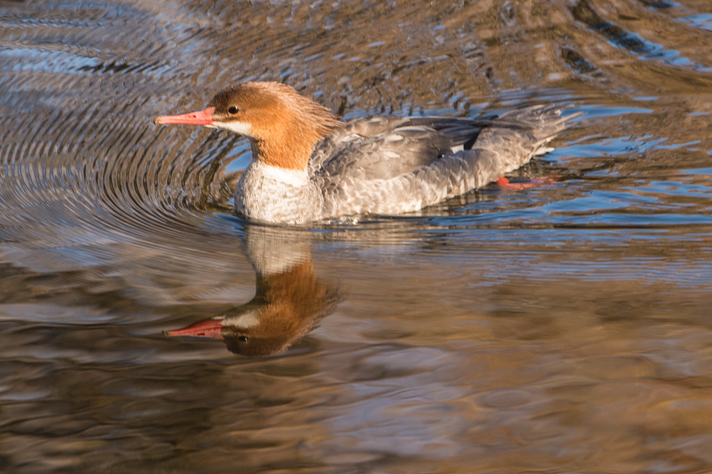 Solo merganser duck.