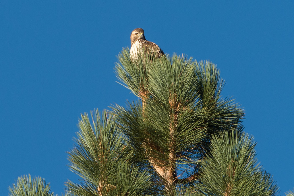 Long range shot of hawk, only raptor around. Before I got there, a bald eagle was around but I missed it.