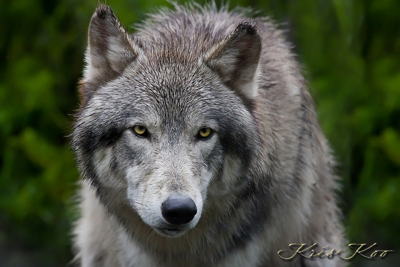 Artic / Timber Wolf