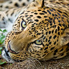 Asiatic Leopard