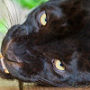 Asiatic Leopard (Melanistic Phase)