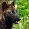 British Columbian Grey Wolf (Melanistic Phase)