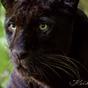Africa Leopard (Melanistic Phase)