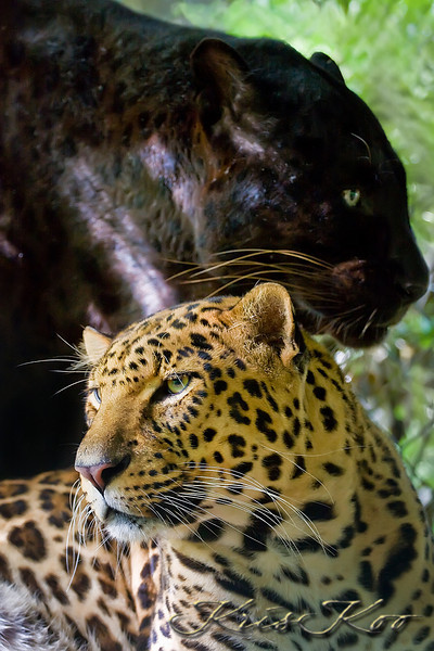 Africa Leopard (Melanistic Phase) & Asiatic Leopard