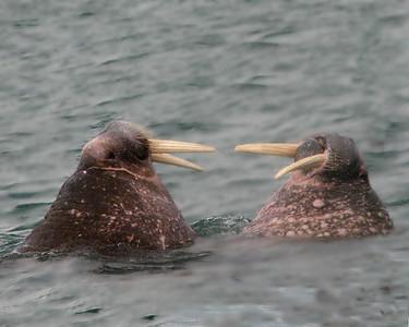 Male walrus face off in Lagoya, Svalbard.