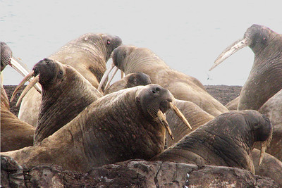 Walrus at haulout Lagoya island show their interest.