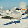 Royal Tern at Siesta Beach, Fl