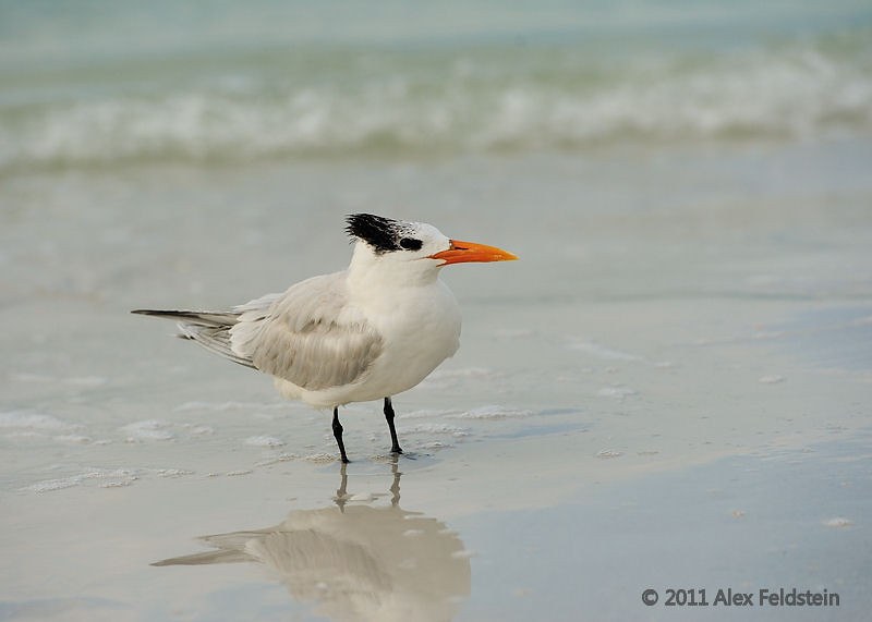 Royal tern, Siesta Beach