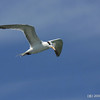 Royal Tern (Thalasseus maximus) - Dania pier, Florida