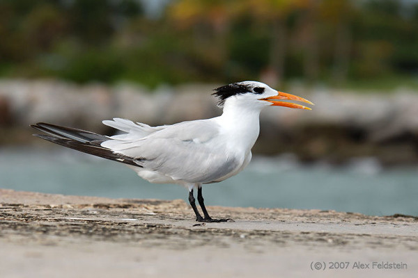 Royal tern - Bal Harbour, Florida