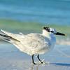 Tern at Siesta Beach, Fl