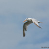 Royal Tern (Thalasseus maximus) - Bal Harbour, Florida