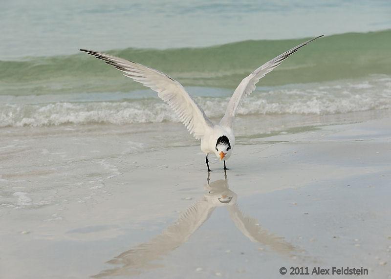 Tern, Siesta Beach