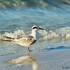 Young Tern at Siesta Beach, Fl