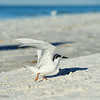 Young Tern at Siesta Beach, Fl