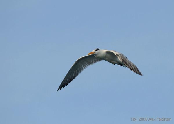 Royal Tern (Thalasseus maximus) - Bal Harbour, Florida