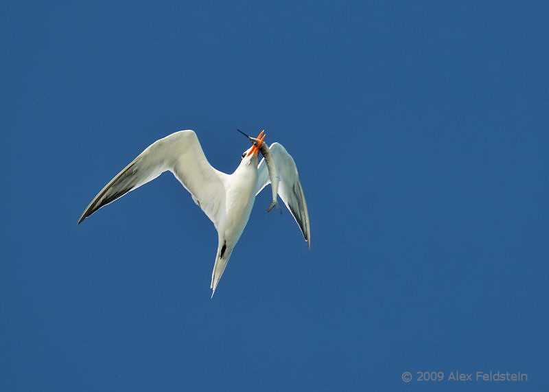 Royal Tern with catch
