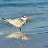 Royal Tern at Siesta Beach, Fl