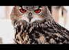 Eurasian Eagle Owl<br /> Wild New Jersey's Photo of the Week-<br /> September 24, 2012