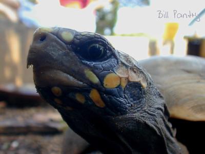 "South American Red Foot Tortoise, ""Darwin"""