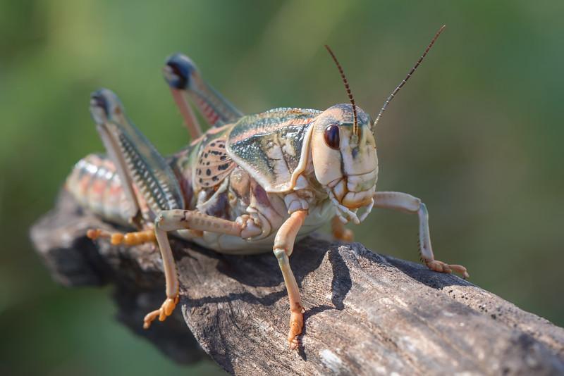 grasshopper 2-2