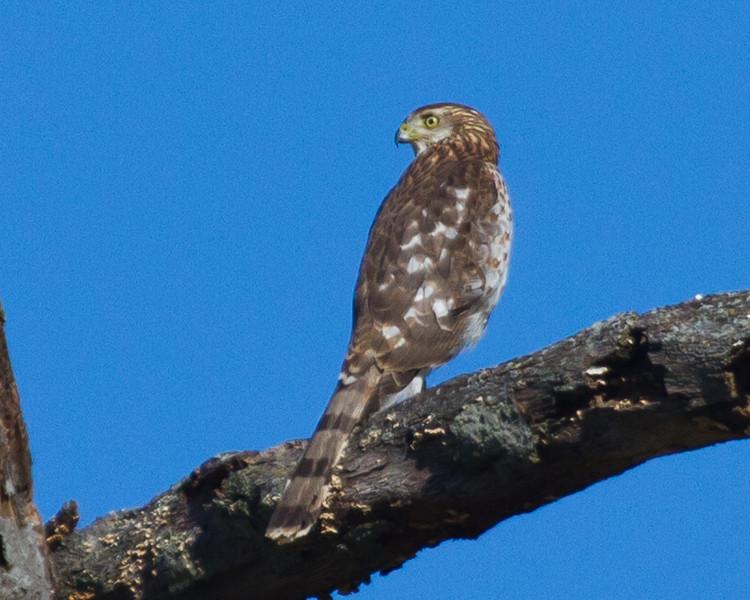 "West side of Badger Rd., in a tree where RH Woodpeckers ""belong."""