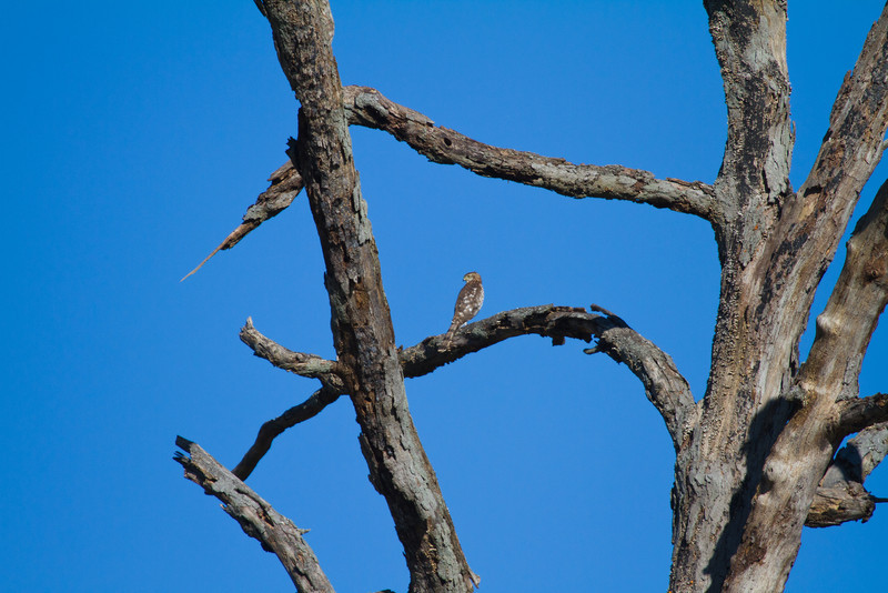 """Uncropped, to show more of the perch-tree.<br /> West side of Badger Rd., in a tree where RH Woodpeckers """"belong."""""""