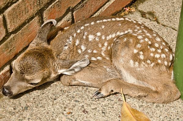 The Baby Deer