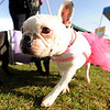 "Brie, the French bulldog, prepares herself for the race.<br /> The annual Canine Classic race and carnival was held at the Boulder Reservoir on Sunday.<br /> For more photos and a video, go to  <a href=""http://www.dailycamera.com"">http://www.dailycamera.com</a>.<br /> Cliff Grassmick / April 18, 2010"