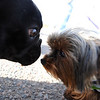 "Beaujolais, left, and Walter, get to know each other before the race.<br /> The annual Canine Classic race and carnival was held at the Boulder Reservoir on Sunday.<br /> For more photos and a video, go to  <a href=""http://www.dailycamera.com"">http://www.dailycamera.com</a>.<br /> Cliff Grassmick / April 18, 2010"