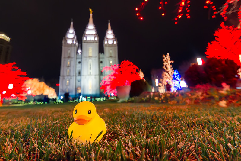 Duck at the temple enjoying the lights