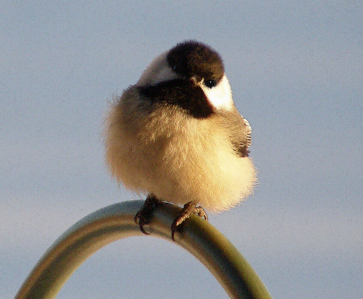 chicadee close up