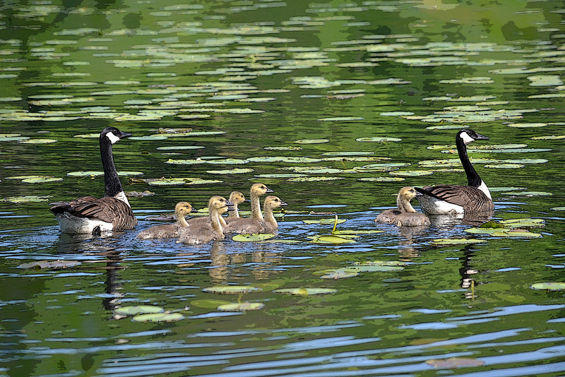 Goose Family at St Johns