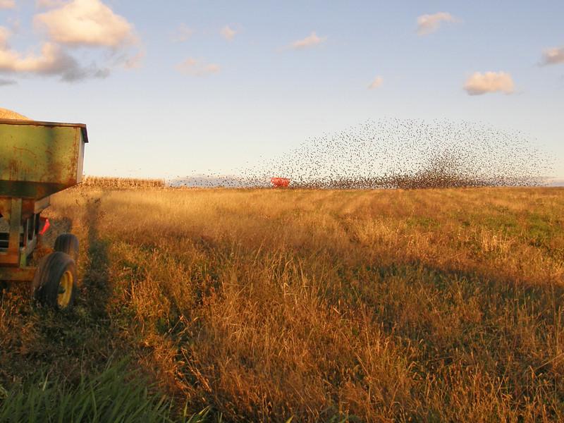 Blackbird Migration