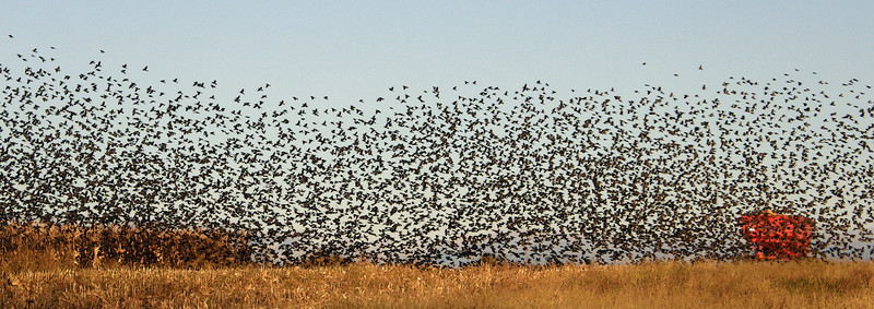 Blackbird Invasion - This series of photos was taken in Stearns County near Marty, MN in the fall of 2011.
