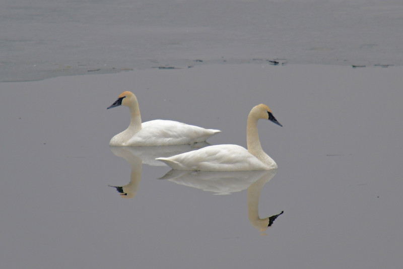 Swans Restful Reflection