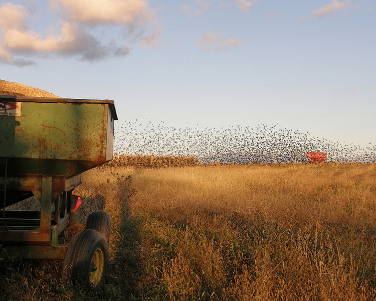 Sharing the Harvest<br /> Blackbirds Migrating