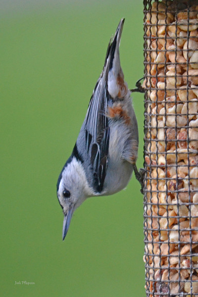 Nuthatches and Peanuts