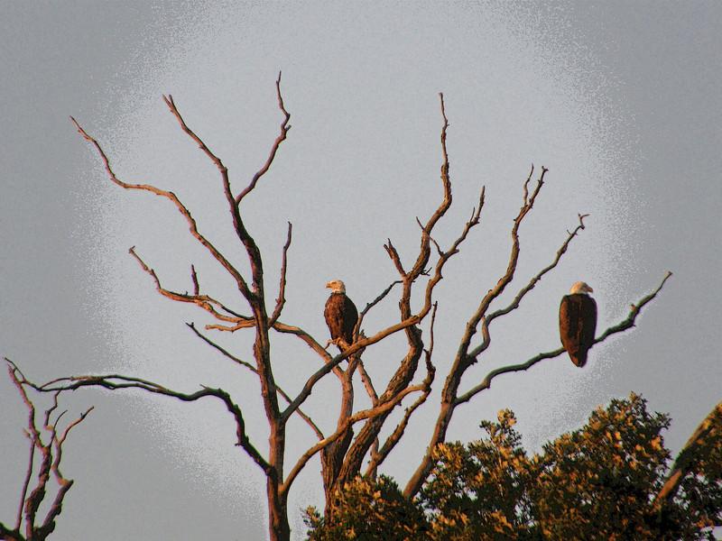 Eagle Spotlight