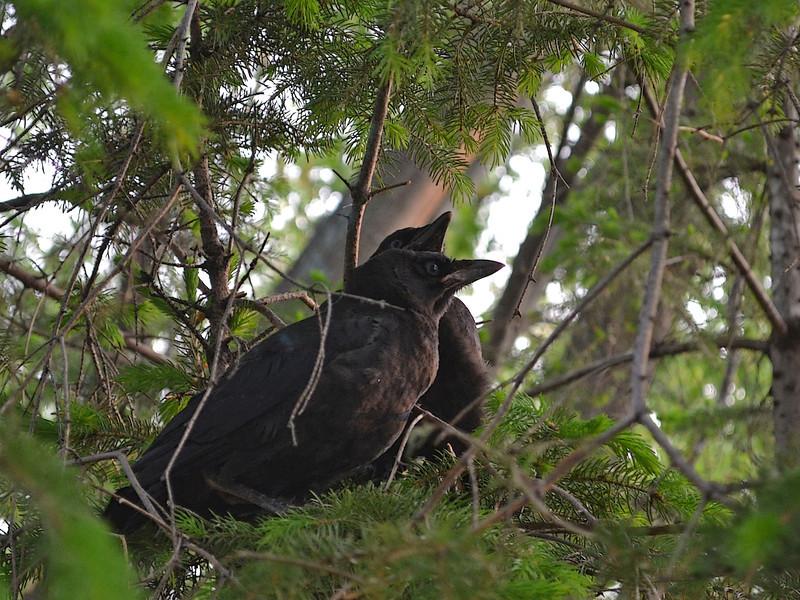 Fledgling Crows