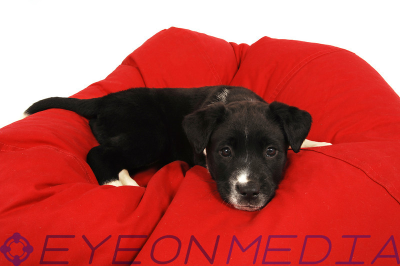 A black and white puppy on a red bean bag chair.