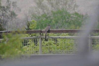 A resting Roadrunner - Not on the road and not running ...