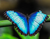 Peleides Blue Morpho: The Key West Butterfly and Nature Conservatory